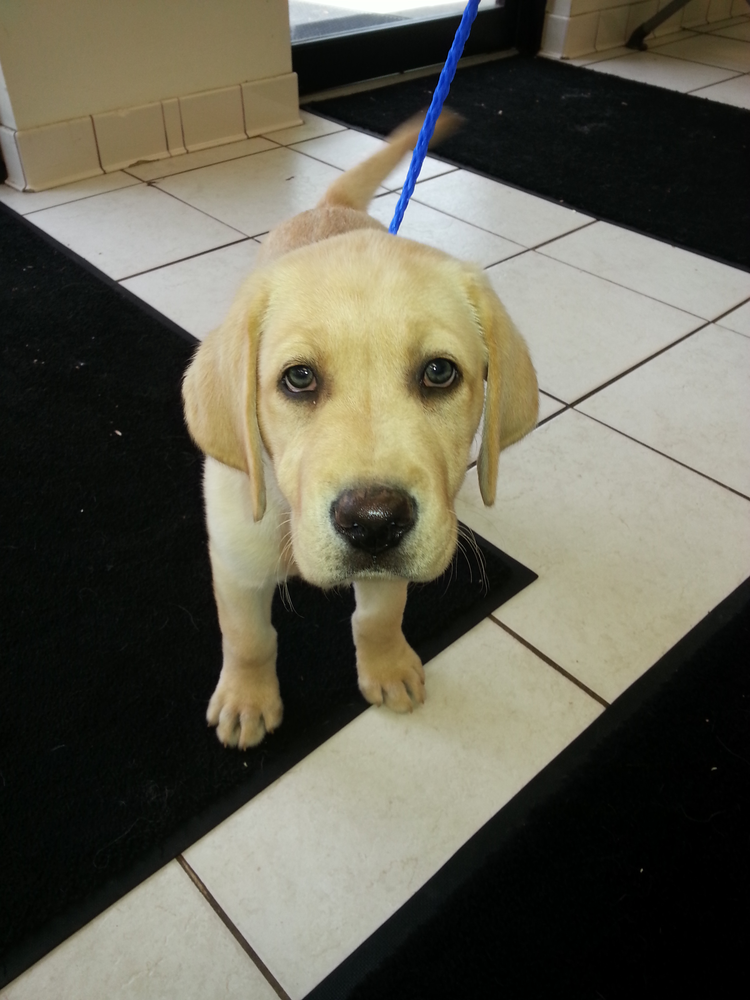 Yellow Lab Pup at First Visit