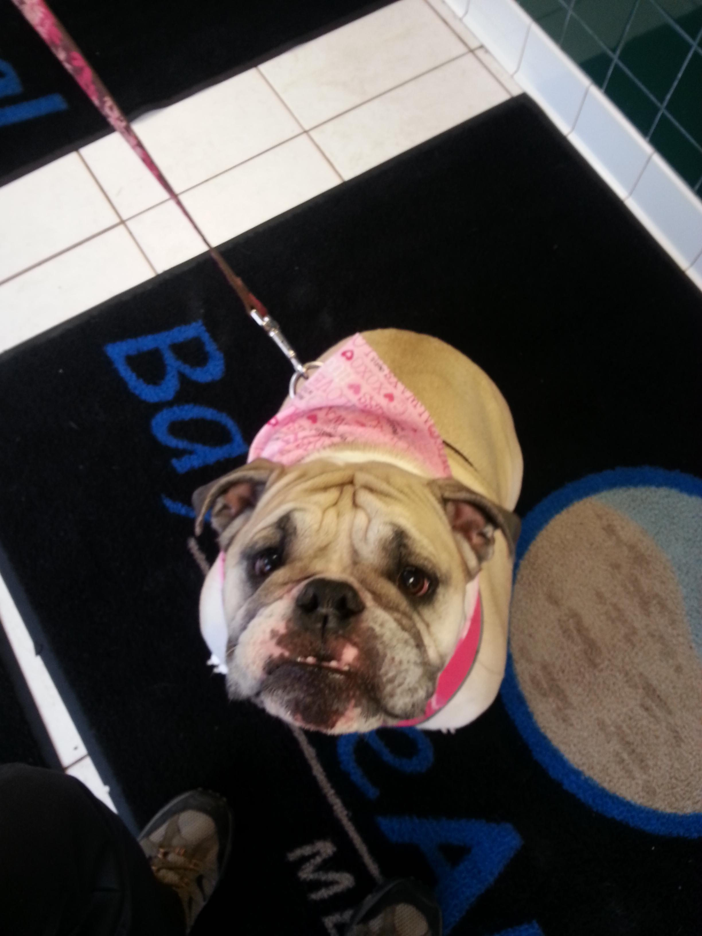 Bull Dog at Bayside